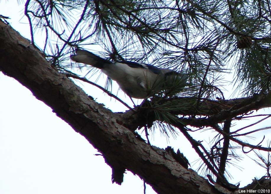 Hot Springs National Park Gulpha Gorge Trail Blue Jay