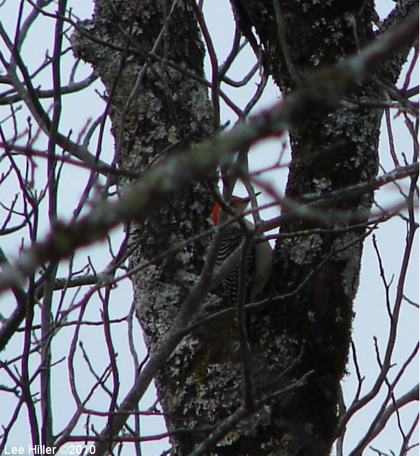 Gulpha Gorge Trail Red Bellied Woodpecker