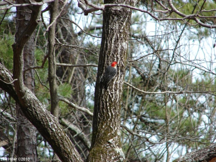 Gulpha Gorge Trail Red Bellied Woodpecker