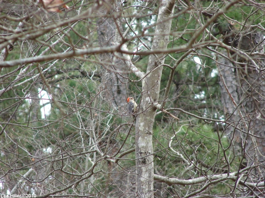 Honeysuckle Trail Female Red Bellied Woodpecker