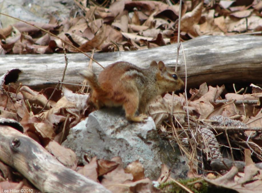 Hot Spring Mountain Trail East Chipmunk