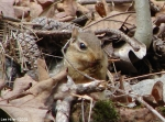 Hot Spring Mountain Trail East Chipmunk
