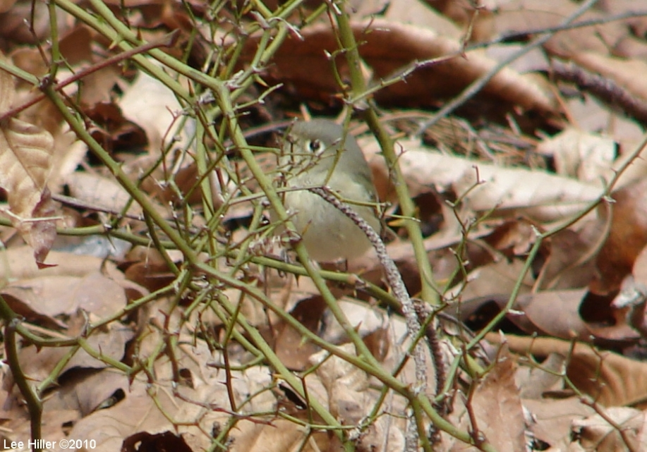 Hot Springs Mountain Trail East Hutton 'Vireo