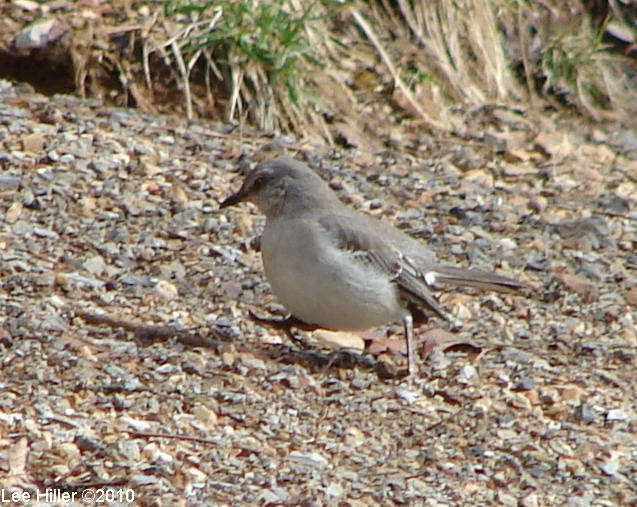 Hot Springs Mountain Trail East Northern Mockingbird