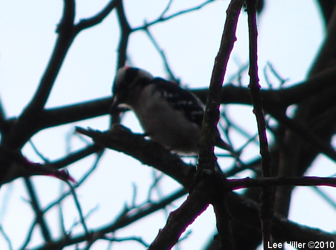 HSMT Picnic Area Male DownyWoodpecker