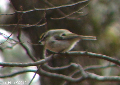 Hot Springs Mountain Trail West Golden-Crowned Kinglet