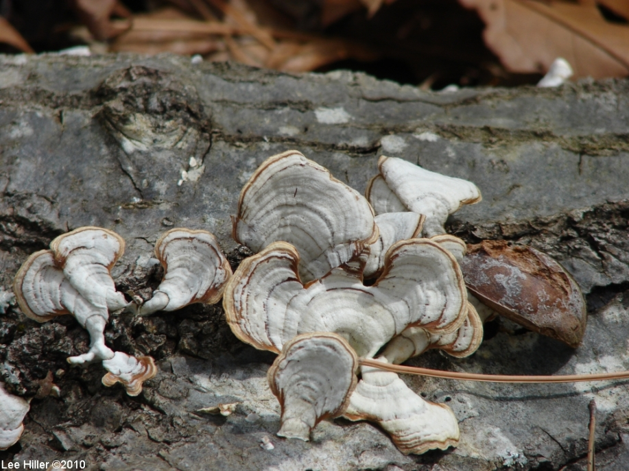 HSNP Upper Dogwood Trail False Turkey Tail Fungi