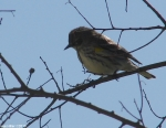 Hot Springs Mountain Trail Pagoda Yellow-Rumped Warbler