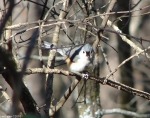 Hot Springs National Park, AR Peak Trail Tufted Titmouse
