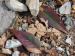 Hot Springs National Park, AR Short Cut Trail 2 Leaves