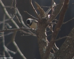 Dead Chief Trail Black-Capped Chickadee