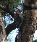 Dead Chief Trail Red-Bellied Woodpecker