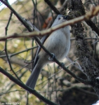 Hot Springs National Park Dead Chie fTrail Tufted Titmouse