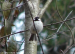 Hot Springs Mountain Trail Picnic Area Carolina Chickadee