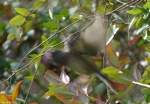 Hot Springs Mountain Trail Dark-Eyed Junco In FLight