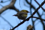 Peak Trail Black-Throated Green Warbler