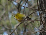 Peak Trail Pine Warblerr