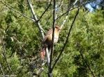 Hot Springs National Park, AR Peak Trail Female Cardinal