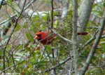Hot Springs National Park, AR Peak Trail Male Cardinal