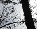 Hot Springs National Park Short Cut Trail Crow In Flight