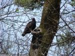 Hot Springs National Park, Arkansas Turkey Vulture No1