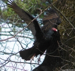 Hot Springs National Park, AR Turkey Vulture #1 In Flight