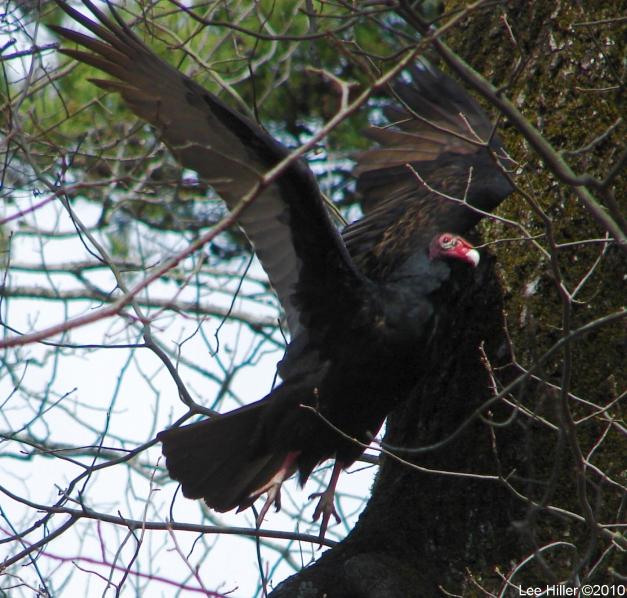 Hot Springs National Park, AR Turkey Vulture #1 In Flight