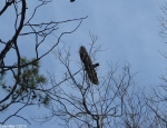 Hot Springs National Park, Arkansas Turkey Vulture No1