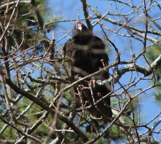 Hot Springs National Park, AR Turkey Vulture #2 Perched