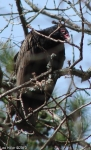 Hot Springs National Park, Arkansas Turkey Vulture No2