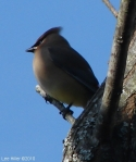 Hot Springs National Park, AR Carriage Road Cedar Waxwing
