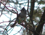 Hot Springs National Park Dead Chief Tufted Titmouse