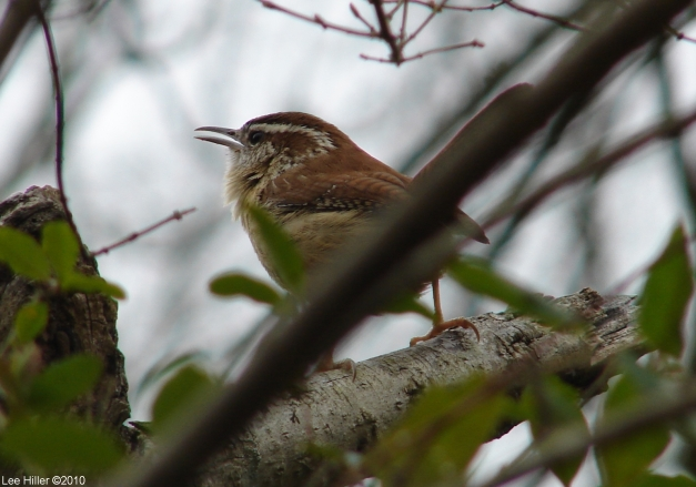 Hot Springs National Park, AR Entrance Carolina Wren