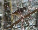 Hot Springs Mountain Trail Ovenbird