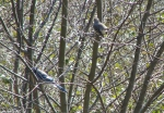 Hot Springs Mountain Trail Pagoda Mockingbird Blue Jay