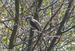 Hot Springs Mountain Trail Pagoda Mockingbird