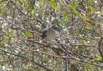 Hot Springs Mountain Trail Pagoda Mockingbird