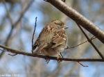 Hot Springs Mountain Trail White-Throated Sparrow