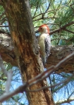 Hot Springs Mountain Trail Red Bellied Woodpecker
