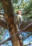 Hot Springs Mountain Trail Red Bellied Woodpecker