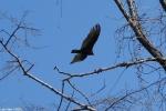 Hot Springs National Park, Arkansas Turkey Vulture