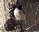 Dead Chief Trail Black-Capped Chickadee