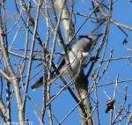 Hot Springs National Park, AR Dead Chief Trail Blue Jay