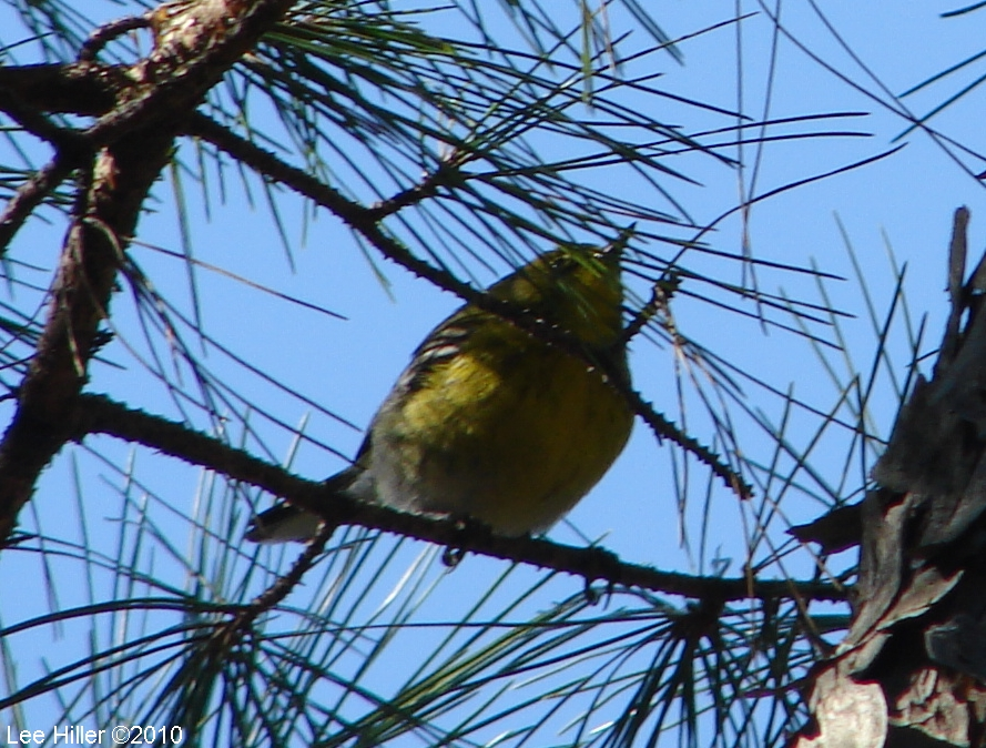 Honeysuckle Trail Black-Throated Green Warbler
