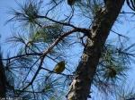 Honeysuckle Trail Black-Throated Green Warbler