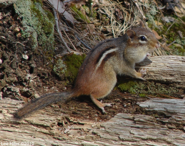 Hot Springs Mountain Trail Chipmunk No. 2