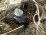 Hot Springs Mountain Trail East Junco Drinking