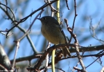 Hot Springs Mountain Trail East Hutton's Vireo