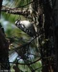 Hot Springs Mountain Trail West Male Downy Woodpecker