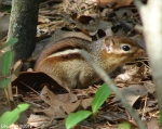 Hot Springs National Park Peak Trail Chipmunk No. 3